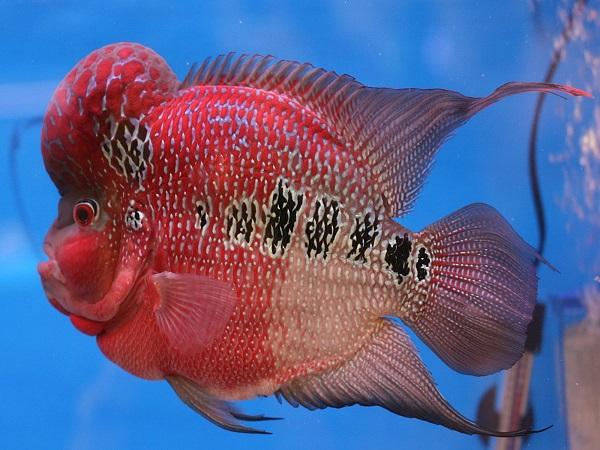 mơ thấy cá la hán