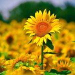 Nằm mơ thấy hoa màu vàng đánh số mấy ? Có điềm báo gì ?