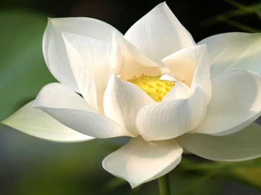 Giải mã giấc mơ thấy hoa sen là điềm báo gì